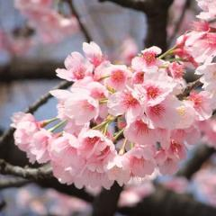 震災慰霊堂に大寒桜が咲く、江戸東京博物館は4月末頃まで休館=墨田区