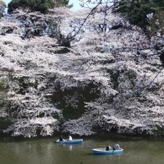 【桜】千鳥ヶ淵、満開