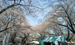 【コラム】「花見」を聖なる儀式とする根拠は「サ神」伝説にあった