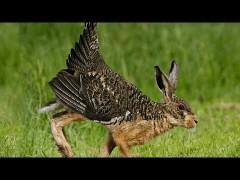 """【山口敏太郎の""""UMA""""ファイル】ライチョウの翼と足を持つウサギの未確認生物!?「スクヴェイダー」"""