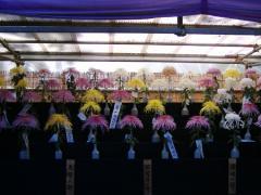 東京都観光菊花大会が日比谷公園で開催中