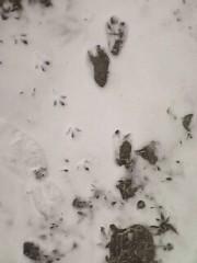 正月の温泉地で足跡が確認された未確認生物『伊香保温泉獣人』
