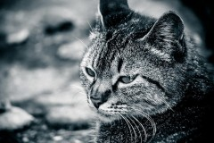 """飼い猫を""""二重まぶた""""に整形した女性、世界中から批判殺到 ペットの美容整形は珍しくない?"""