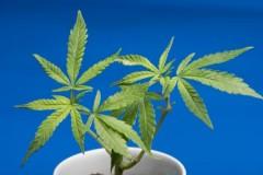 海外では次々と完全合法化!大麻ビジネス最前線(1)