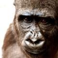 ハイブリット生物、ライオンを喰う類人猿「ライオン・イーター」