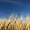 米国産輸入小麦の90%以上から発がん性物質グリホサートが検出